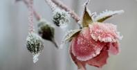 Zamrznjena vrtnica